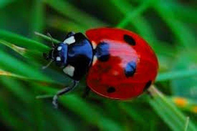 20. Çok küçük olmalarına rağmen uğur böceklerinin kokusuna insanlar oldukça duyarlıdır.
