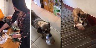 Evin Küçük Çocuğu Gibi Markete Yumurta Almaya Yollanan Köpek