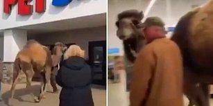 İnsanların Arasında Yürümeye Alışsın Diye 700 Kiloluk Deveyle Pet Shop'a Gelen Adam