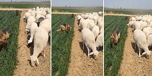 Yeni Mahsulü Koyunlardan Korumaya Çalışan Çoban Köpekleri