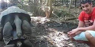 Tanzanya Seyahati Sırasında Yaklaşık 120 Yaşındaki Kamplumbağanın Çiftleşme Anına Denk Gelen Türk'ün Kaydettiği Efsane Görüntüler