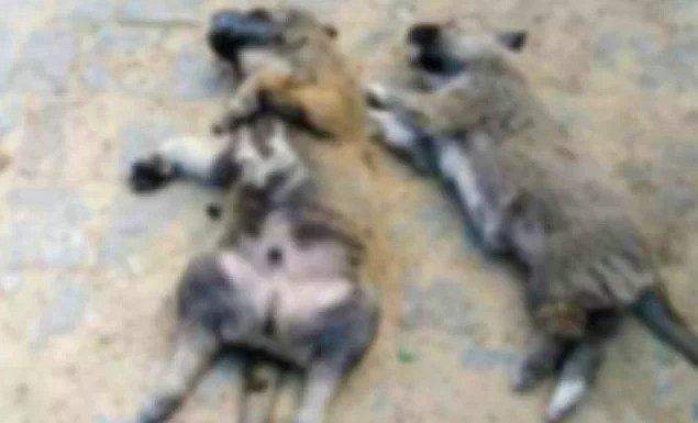 Balıkesir'in Erdek ilçesinde zehirli et yiyen bir sokak köpeği ile ili aylık üç yavrusu ve üç kedi hayatını kaybetti.