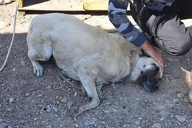 İzmir'de bir avukatın sopalı ve yumruklu saldırısına uğrayan köpek görme yetisini yüzde 80 oranında kaybetti.