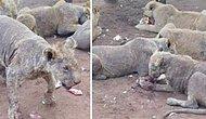 Utan İnsanoğlu! Yetişkin Olup Turistlerin İlgisini Kaybettiği İçin Kaderine Terk Edilen Aslanların İçler Acısı Halleri