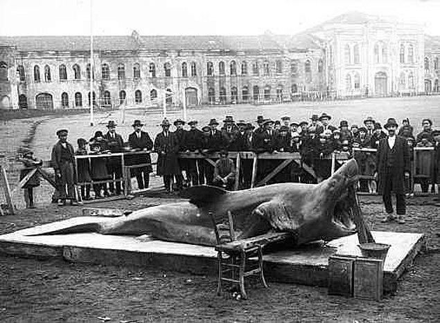 5. Marmara Denizi'nde yakalanan köpek balığı, İstanbul, 1930.