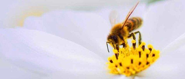 15. Arıların dizleri vardır ve topladıkları polenlerin çoğunu tüylü dizlerinde saklarlar.