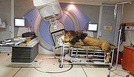 Cilt Kanseri Tedavisi İçin İnsan Hastanesinde Kemoterapi Görecek Olan 260 Kg'lık Aslan 'Kaos'