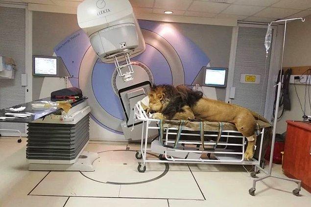 Güney Afrika'da bulunan Muelmed Mediklinik'te tedavisine başlanan Kaos adlı aslan, cilt kanseri için kemoterapi görecek.