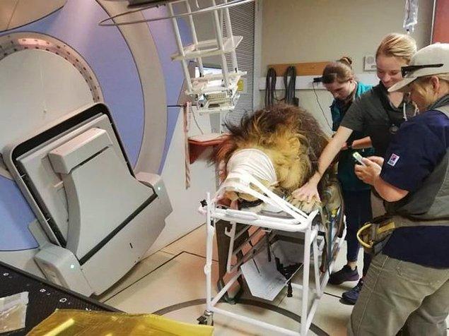 Tedavi süreci devam eden 16 yaşındaki Kaos adlı aslanın bakıcısı Kara Heynis bir an olsun yanından ayrılmıyor.