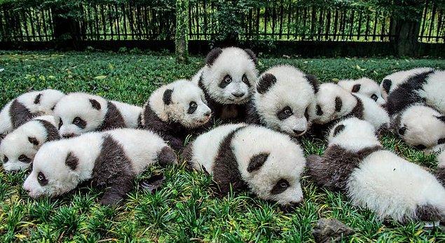 Çin'in Sichuan ve Shaanxi bölgelerinde yaklaşık 2 bin panda vahşi doğada yaşıyor.