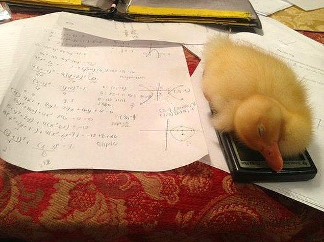 """""""Matematik ödevimi yapamıyorum çünkü ördeğim hesap makinemde uykuya daldı."""""""