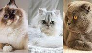 Senin Ruhun Hangi Kedi Irkına Ait?
