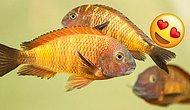 Araştırmalara Göre Dişi Ciklet Balıkları Gerçek Aşklarından Ayrı Kalınca Depresif ve Pesimist Oluyorlar