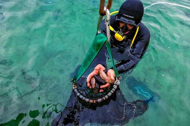 Deniz patlıcanının Türkiye'de avcılığı neden yasak?