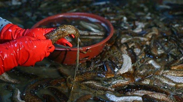 Deniz patlıcanları genel olarak Hindistan, Fiji, Papua Yeni Gine, Çin ve Japonya gibi bölgelerde çıkarılmaktadır.