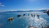 Grönland'da Küresel Isınma Yüzünden Eriyen Buzul Suyunun Üzerinde Koşan Husky'lerin Trajik Fotoğrafı
