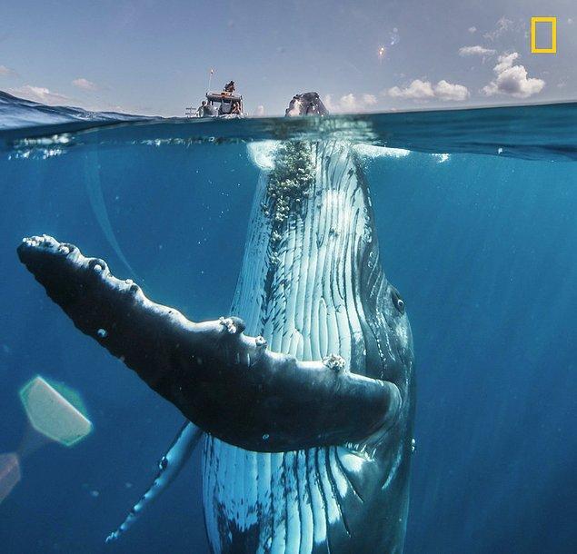 4. Buz dağının görünen kısmı, Güney Pasifik'te bir yerde yeni arkadaşlarıyla buluşan bir balina.