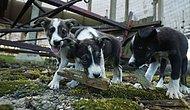 Dünyanın En Büyük Felaketlerinden Olan Çernobil Felaketinin Unutulmuş Köpekleri