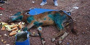 Vatandaşlar Buldu ve Tedavi Altına Alındı: Yaralı Eşek Ormanlık Alanda Ölüme Terk Edildi