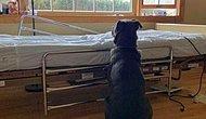 'Babasının' Sonsuza Dek Gittiğini Bilmeden Hastane Yatağının Yanında Bekleyen Sadık Dost!