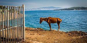 Belediye Hâlâ Çözüm Bulmadı: 2019'un Başından Bu Yana Adalar'da 170 At Yaşamını Yitirdi