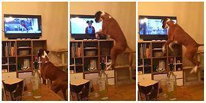 Televizyonda Gördüğü Arkadaşını Taklit Ederken Yerinde Duramayan Tatlı Köpek