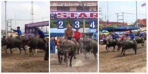 Düşen Düşene: Tayland Bufalo Yarışı Festivali'nden Eğlenceli Görüntüler