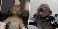 Almanya'daki Laboratuvarda Gerçekleştirilen Deneylerde Maymunlara ve Diğer Hayvanlara Adeta İşkence Uygulandığı Ortaya Çıktı!