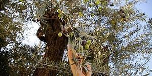 Yol Yapım Çalışması İçin Yerinden Sökülmüştü: 6 Asırlık Zeytin Ağacı Yeniden Meyve Verdi
