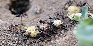 Kış Geliyor! Sosyal Böceklerden Olan Karıncılar Hazırlıklara Başladı 🐜