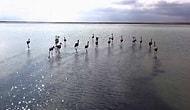 Konya'da Satılmak Üzereyken Bulunan 20 Yavru Flamingo Doğaya Bırakıldı