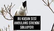 Kulaklarınızı Tıkayın! Şimdiye Kadar Kaydedilen Dünyanın En Yüksek Sesi, Minik Beyaz Bir Kuşun 'Çiftleşme Çağrısı'