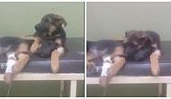 Ameliyat Olan Kardeşinin Yanından Ayrılmayan Minnoş Köpek