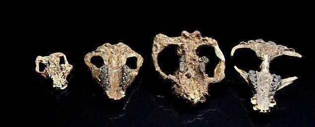 Gelelim bu hafta bilim dünyasından gelen nefes kesici keşif haberine... Yeni keşfedilen fosiller, dinozorlardan sonra memelilerin nasıl geliştiğini gösteriyor!