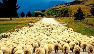'Afgan Çoban Formülü' ile 150 Bin Kişilik Açık Kapatılacak