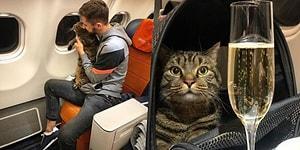Fazla Kiloları Nedeniyle Kabine Alınmayan Şişko Kedisini Uçağa Sokabilmek İçin Sürpriz Bir Yola Başvuran Adam