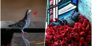 Ziyaretçilerin Savaş Anıtına Bıraktıkları Yapay Gelinciklerden Kendine Yuva Yapan Romantik Güvercin