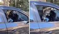 Açık Unutulan Camdan Aracın İçine Doluşan Kedilerin, Aracın Sahibi Geldiğinde Kaçacak Yer Aradıkları Efsane Anlar!