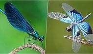 Örnek mi Alsak? Erkeklerinden Kaçınmak İçin Muazzam Bir Çözüm Bulan Dişi Yusufçuk Böcekleri
