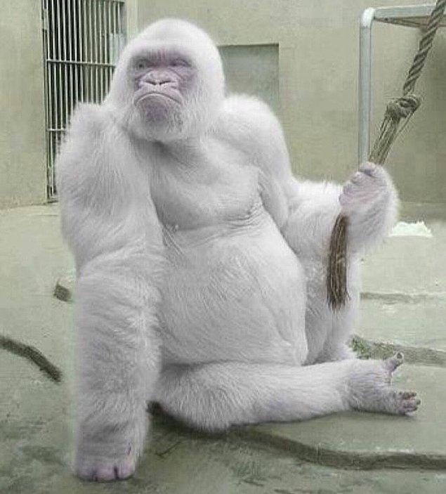 7. Albino goril! 😍