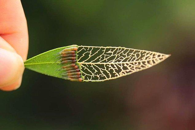 16. Birkaç tenthredinidae tarafından yenilen bir yaprak.