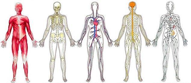 8. Trakea hangi vücut sisteminin bir parçasıdır?