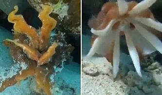 Deniz Süngeri Görünümü Alarak Kamufle Olan Mürekkep Balığının Muhteşem Görüntüleri!