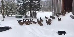 Karlı Havada Dışarı Çıkmanın Büyük Bir Hata Olduğunu Fark Eden Ördek Sürüsünün Efsane Görüntüleri!