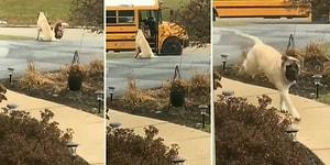 Küçük Dostuna Her Gün Okul Servisine Kadar Eşlik Edip Otobüse Güvenli Bir Şekilde Bindirdikten Sonra Eve Dönen Köpek