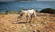Eski Adalar Noteri Atlara Yapılan Zulmü Anlattı: 'Taylar Denize Atılır, Yaralı Hayvanlara Bakacak Veteriner Yok'