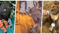 Onları Bile Koruyamadık! Avustralya'daki Durdurulamayan Büyük Yangından Dolayı Koalaların Büyük Çoğunluğu Yok Oldu!