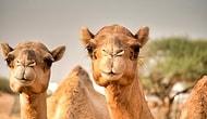 Develerle Sınırlı Değil: Avustralya'da Atlar, Tavşanlar, Tilkiler Hatta Kangurular da Öldürülüyor