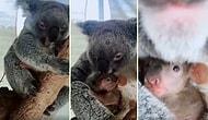 Avustralya'da Yangından Kurtarılan Anne Koala ve Yavrusunun Muhteşem Görüntüleri!