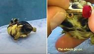 Bacakları Ters Olan Kaplumbağanın Rahat Yürüyebilmesi İçin Ona Mini Kaykay Yapan Güzel İnsan!